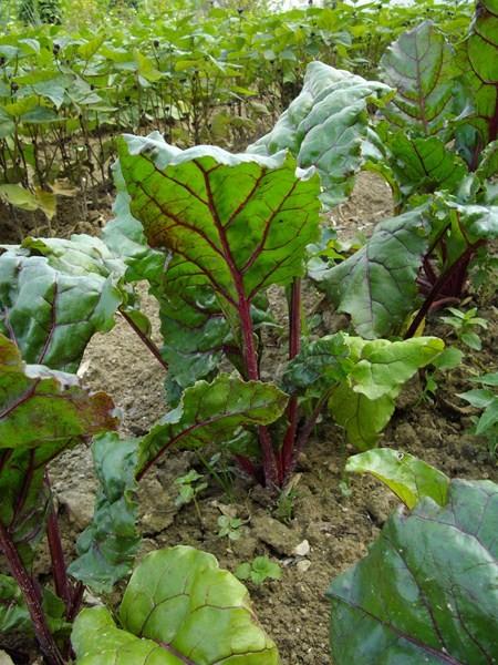 Mes betteraves rouges - Comment cuisiner les feuilles de betterave rouge ...